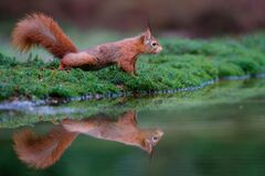 Free Eurasian Red Squirrel Searching For Food Stock Images - 215147904