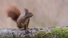 Eurasian red squirrel Stock Image