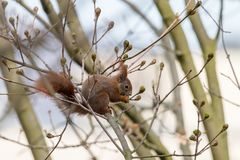 Red squirrel sitting on a branch and eating spring leaf buds stock photos