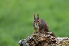 Eurasian red squirrel Royalty Free Stock Image