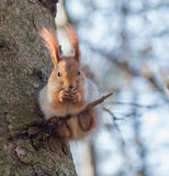 Eurasian red squirrel sitting on a thin twig Royalty Free Stock Photos