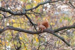 Eurasian red squirrel sitting on tree branch in fall season stock image