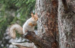 Eurasian red squirrel sitting on a tree branch Stock Photography