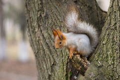 Eurasian red squirrel sitting on a tree Stock Images