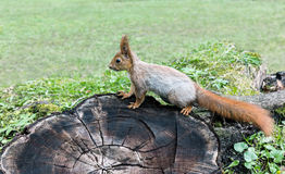 Eurasian red squirrel sitting on tree stump in forest Stock Images