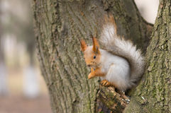 Eurasian red squirrel sitting on a tree Royalty Free Stock Image