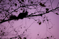 Eurasian red squirrel sleeping in a tree Royalty Free Stock Photo