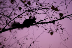 Eurasian red squirrel sleeping in a tree Royalty Free Stock Photography