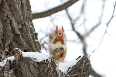 Eurasian Red Squirrel in Snow. Eurasian Red Squirrel in a tree in the Winter Royalty Free Stock Photo