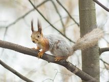 Eurasian red squirrel at tree branches close-up portrait, selective focus, shallow DOF Royalty Free Stock Photography