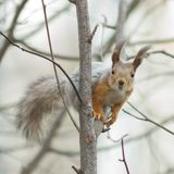 Eurasian red squirrel at tree branches close-up portrait, selective focus, shallow DOF Royalty Free Stock Image