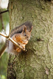Eurasian red squirrel in the tree Stock Photography