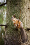 Eurasian red squirrel in the tree Royalty Free Stock Photography