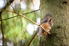 Eurasian red squirrel in the tree Royalty Free Stock Images