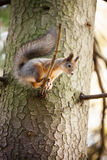 Eurasian red squirrel in the tree Royalty Free Stock Image