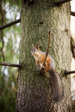 Eurasian red squirrel in the tree Stock Photos