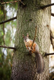 Eurasian red squirrel in the tree Royalty Free Stock Photos
