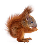 Eurasian red squirrel. Royalty Free Stock Images