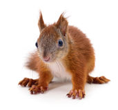 Eurasian red squirrel. Royalty Free Stock Photos