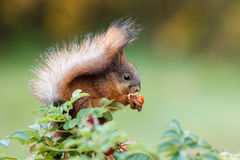 Eurasian red squirrel Stock Photo