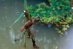 Eurasian Reed-Warbler Stock Image