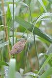 Eurasian Reed-Warbler Stock Photography