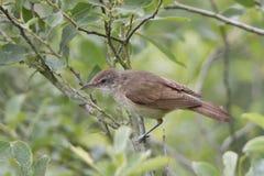 Eurasian Reed Warbler immagine stock