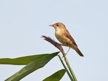 Eurasian Reed Warbler (Acrocephalus Scirpaceus) Royalty Free Stock Image