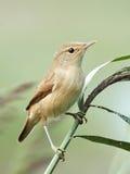 Eurasian Reed Warbler (Acrocephalus Scirpaceus) Royalty Free Stock Photos