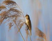 Eurasian reed warbler, Acrocephalus scirpaceus, in reed natural environment Stock Photos