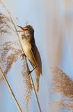 Eurasian reed warbler, Acrocephalus scirpaceus, in reed natural environment Royalty Free Stock Photography