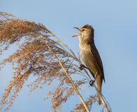 Eurasian reed warbler, Acrocephalus scirpaceus, in reed natural environment Stock Photography