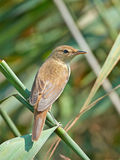 Eurasian reed warbler (Acrocephalus scirpaceus) Stock Photo