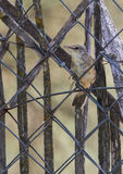 Eurasian Reed Warbler appollaiato sul recinto Fotografia Stock