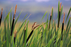 Eurasian Reed Warbler bird perched on wetland reeds. Acrocephalus scirpaceus Stock Photography