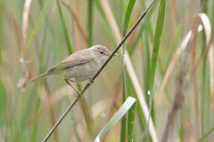 Eurasian reed warbler Royalty Free Stock Photo