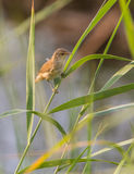Eurasian Reed Warbler perched on reed plant Royalty Free Stock Photos