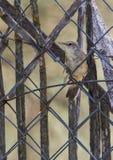 Eurasian Reed Warbler som sätta sig på staketet Arkivbild