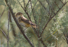 Eurasian Reed Warbler on Tamarind tree Royalty Free Stock Images