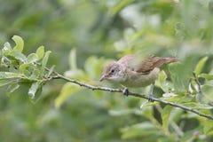 Eurasian reed warbler Royalty Free Stock Images