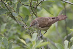 Eurasian reed warbler Royalty Free Stock Photos