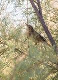 Eurasian Reed Warbler in vegetazione fotografie stock libere da diritti