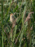 Eurasian Reedwarbler in a reedbed Stock Images