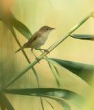 Eurasian Reedwarbler sulla canna immagine stock
