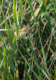 Eurasian Reedwarbler in un canneto fotografie stock