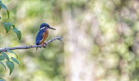 Eurasian, river or common kingfisher, alcedo atthis, Neuchatel, Switzerland Royalty Free Stock Photography