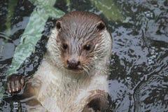 Eurasian river otter Stock Photos