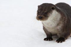 Eurasian river otter,  Royalty Free Stock Image