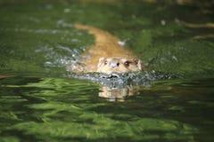Eurasian river otter Royalty Free Stock Photos