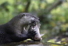 Eurasian River Otter Stock Image